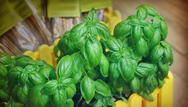 Chcesz wiedzieć, dlaczego zioła z supermarketu tak szybko usychają? Sprawdź!